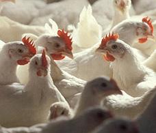 从欧洲精准畜牧业研讨会看蛋鸡精准养殖技术的研究进展