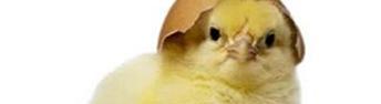 浅议影响雏鸡质量的因素及解决方法